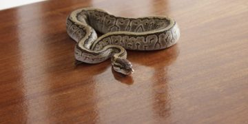 Ball Python standing still on a wood table